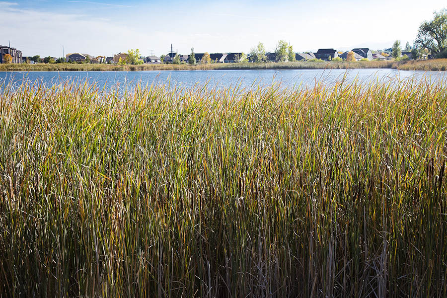 Tall reeds along lake shoreline with houses in the distance.