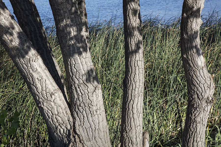 Detail of trees with patterned bark in front of tall grass with lake behind.
